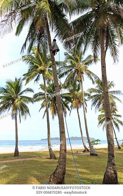 Man harvesting coconuts in Palawan, in the Philippines