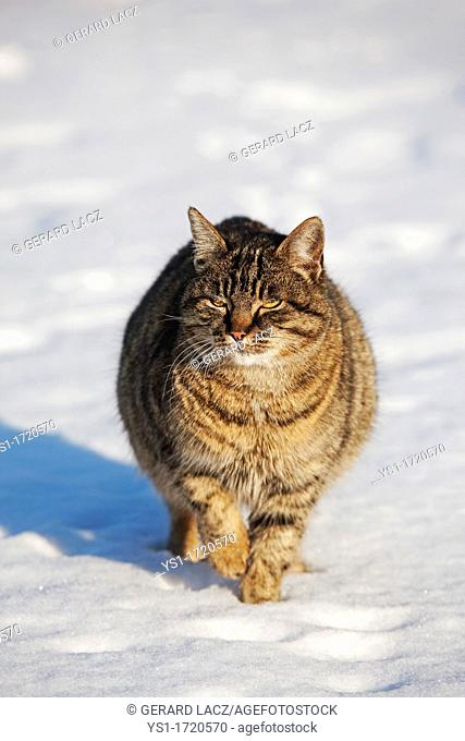 Brown Tabby Domestic Cat, Female walking on Snow, Normandy