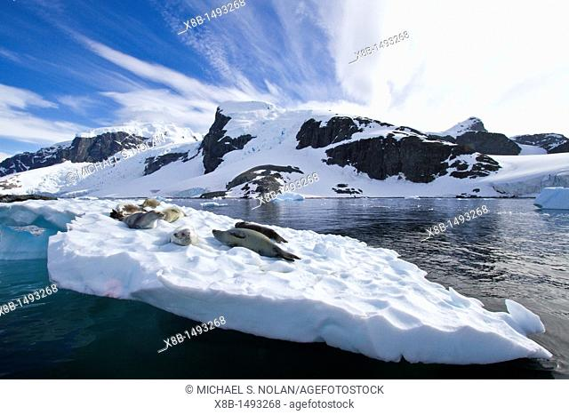 Crabeater seals Lobodon carcinophaga hauled out on ice floe near Cuverville Island in the Antarctic Peninsula  MORE INFO Crabeater seals often exhibit spiral...