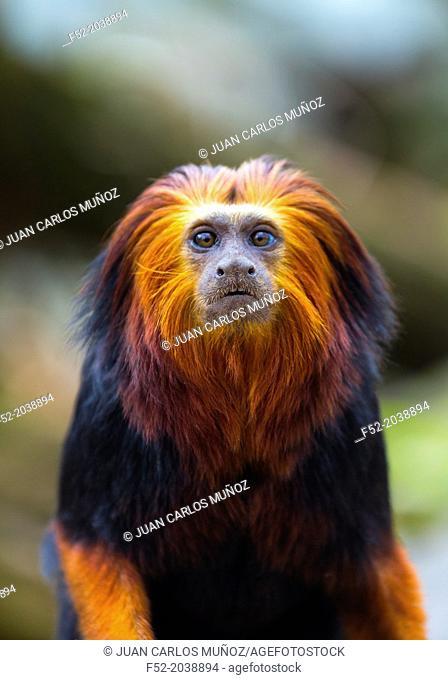 Golden-headed lion tamarin Leontopithecus chrysomelas. Apenheul Zoo, Holland