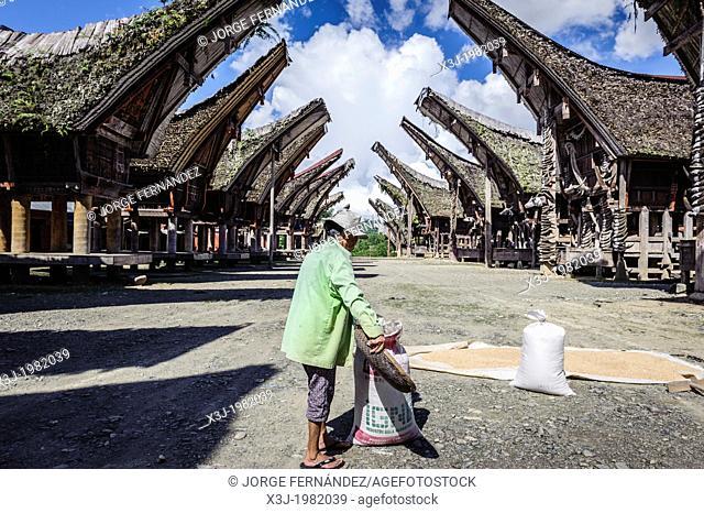 Woman drying rice on the floor, Tana Toraja, Sulawesi, Indonesia