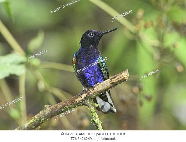 Velvet-purple coronet hummingbird (Boissonneaua jardini), San Tadeo, Mindo, Ecuador