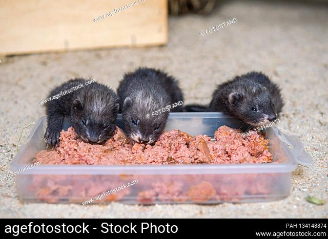 Aue, Germany July 21, 2020: Baby animals - Minis Zoo - Aue Three ferret babies, two boys and one girl. What is special is their color black self