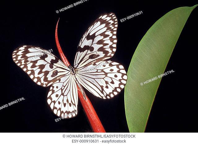 Close up of a batik butterfly Ide stolli on a rubber plant stem