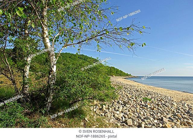 Birch trees on the beach, Osterlen, Skane, Sweden