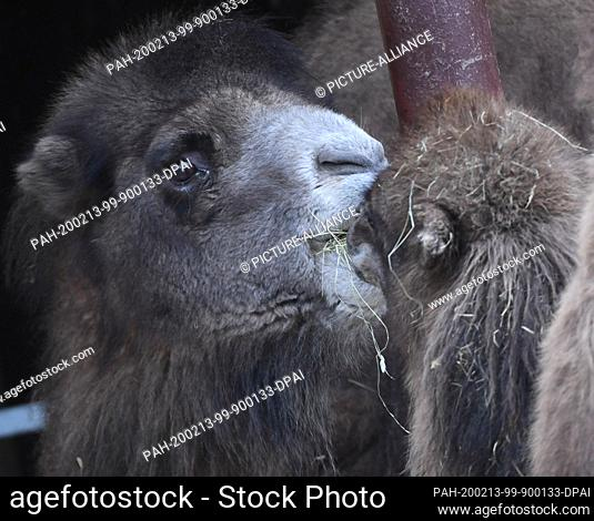 """13 February 2020, Hessen, Frankfurt/Main: The almost one year old Bactrian camel mare """"""""Arya"""""""" (r) and the 18 year old """"""""Hira"""""""""""