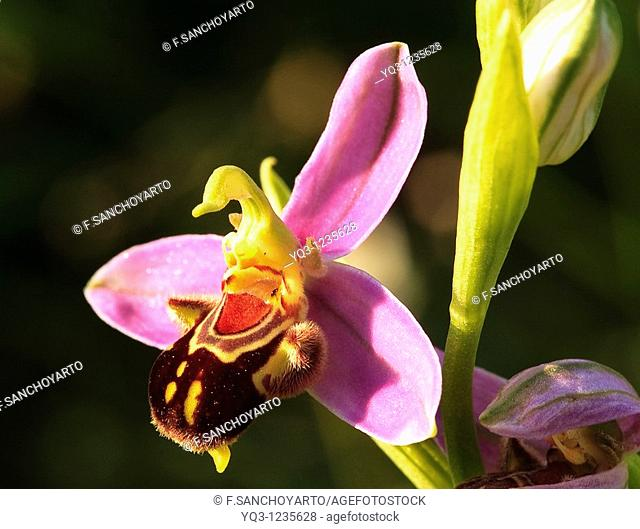 Bee Orchid (Ophrys apifera), Sonabia, Castro Urdiales, Cantabria, Spain