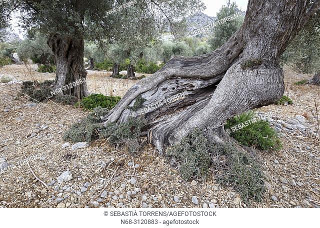 Olive tree at Mortitix, Escorca, Majorca, Balearic Islands, Spain