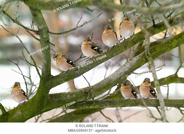 Tree, branches, chaffinches, Fringilla coelebs