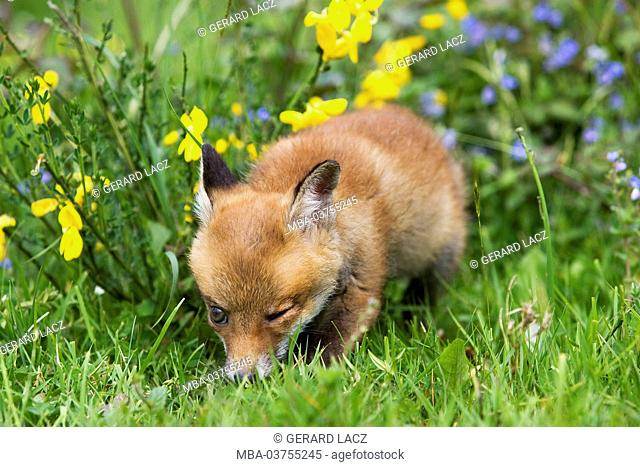 Red Fox, vulpes vulpes, Puppy with Flowers, Normandy
