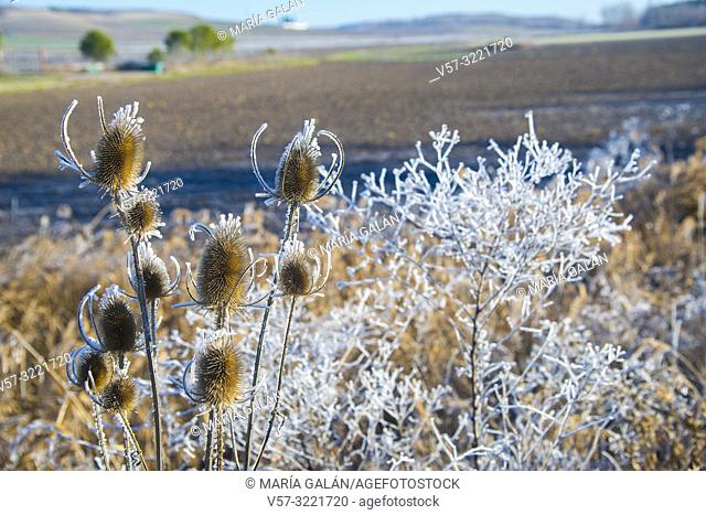 Frosty plants. Cuellas, Segovia province, Spain