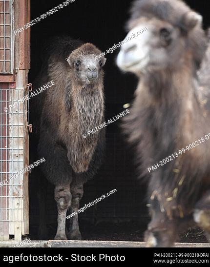 """13 February 2020, Hessen, Frankfurt/Main: The almost one year old Bactrian camel mare """"""""Arya"""""""" (l) looks out of the stable next to the 18 year old """"""""Hira"""""""" in..."""