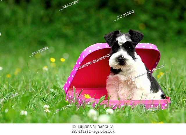 Miniature Schnauzer. Puppy (6 weeks old) sitting in a pink suitcase with white polka dots. Germany
