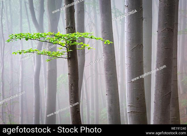 Foggy beech forest in Turiec region, Slovakia