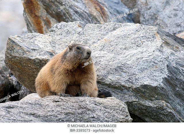 Alpine Marmot (Marmota marmota) between boulders