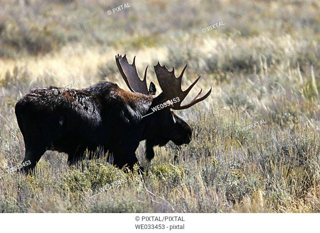 Bull Moose (Alces alces shirasi) in the Grand Teton National Park, Wyoming, USA