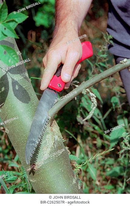 Pruning tree using serrated knife
