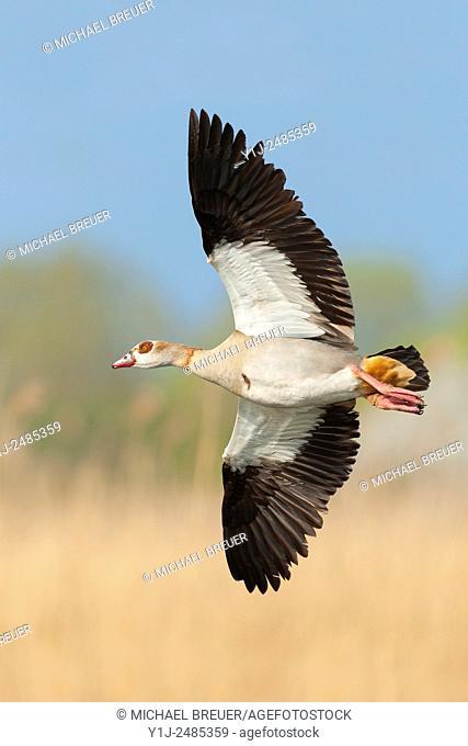 Egyptian goose (Alopochen aegyptiacus); Hesse, Germany, Europe