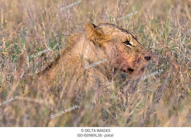 Lion (Panthera leo), Tsavo, Kenya, Africa