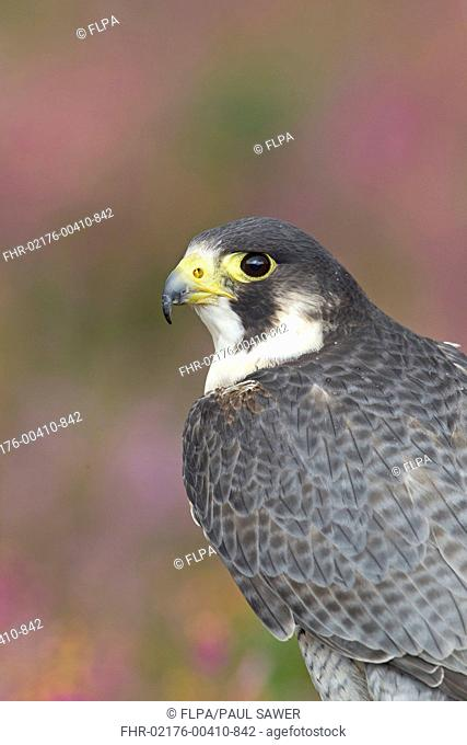 Peregrine Falcon Falco peregrinus adult, close-up of head and back, with flowering heather in background, September captive