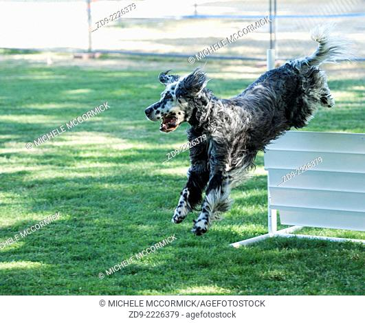 An English Setter takes a jump in obedience competition