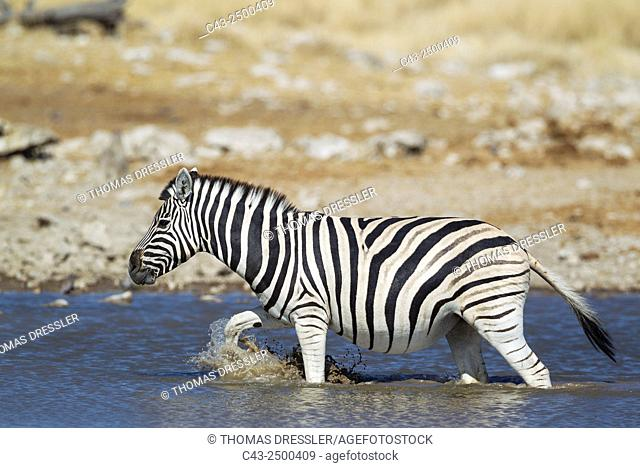 Burchell's Zebra (Equus quagga burchelli) - At a waterhole. Etosha National Park, Namibia