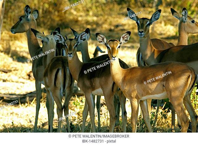 Impalas (Aepyceros melampus), Okavango Delta, Botswana, Africa