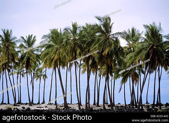Palm Trees on Big Island of Hawaii