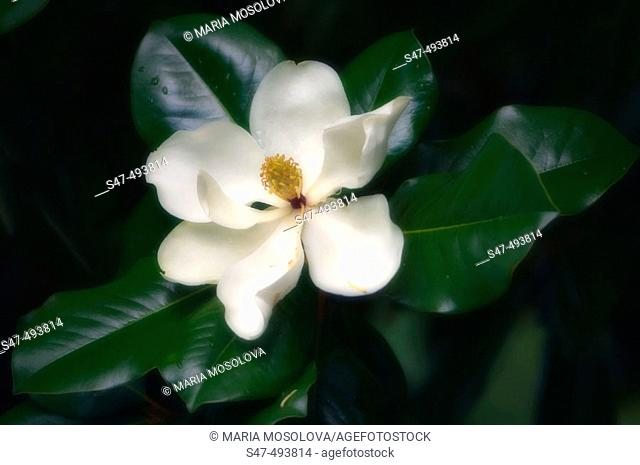 Magnolia grandiflora, Southern magnolia, bull bay, Native American tree, Magnoliaceae. June 2005. South Carolina, USA