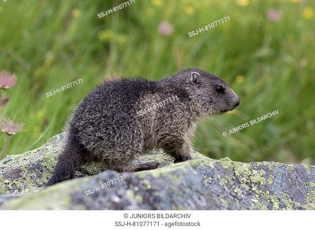 Alpine Marmot (Marmota marmota). Young on a rock. High Tauern National Park, Austria