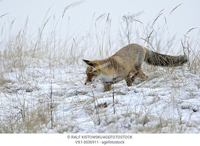 Red Fox ( Vulpes vulpes ) hunting in snow, late onset of winter, natural surrounding, wildlife, Europe