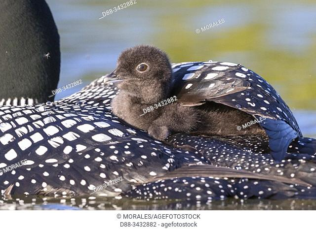 United States, Michigan, Common Loon (Gavia immer), on a lake, parents with a baby on the back