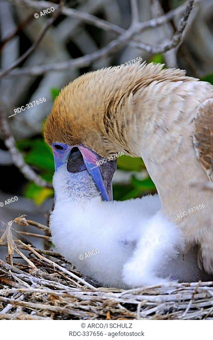 Red-footed Booby brown variety, feeding chick in nest, Genovesa Island, Tower Island, Galapagos Islands, Ecuador / Sula sula