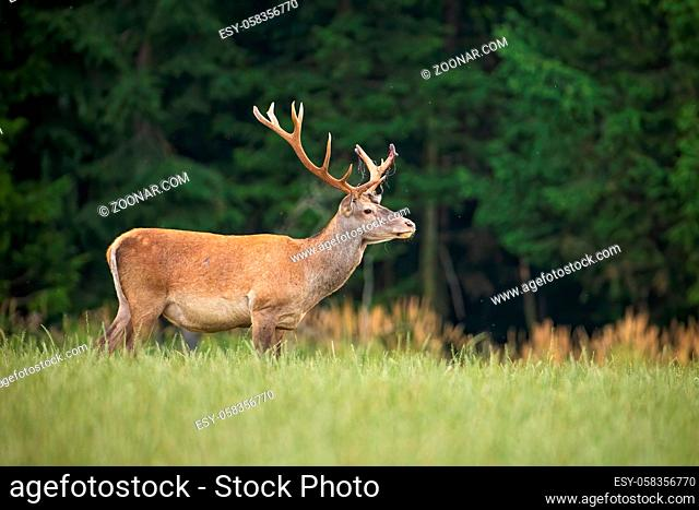 Surprised red deer, cervus elaphus, stag with abnormal antlers looking aside from side view in summer nature. Wild mammal standing on a green meadow with copy...