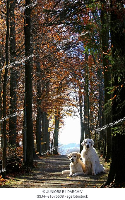 Golden Retriever. Mother (13 years old) lying and daughter (8 years old, sitting) in a tree avenue in autumn. Germany