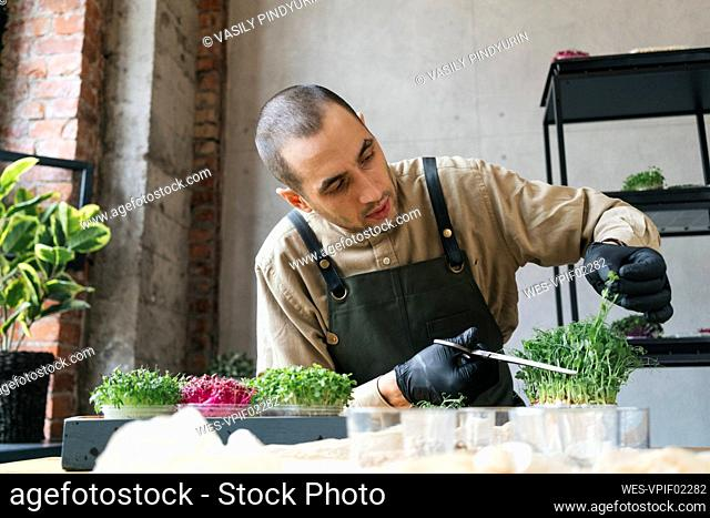 Man cutting microgreens with scissors on table