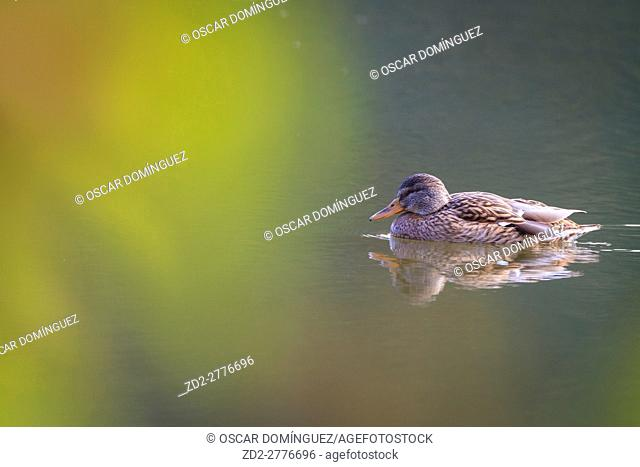 Mallard (Anas platyrhynchos) female swimming on water. Lower Silesia. Poland