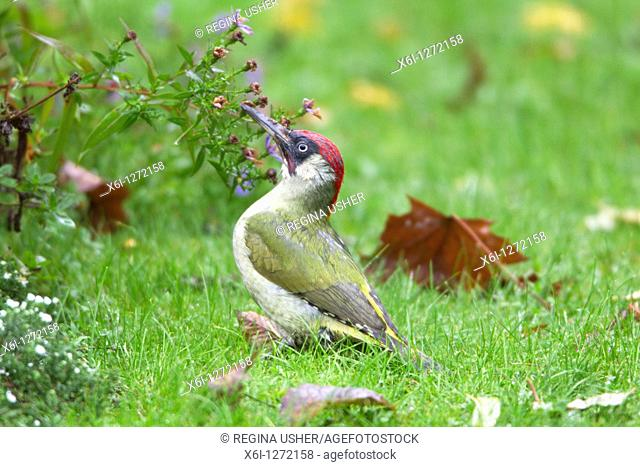 Green Woodpecker Picus viridus, male on lawn in garden, Lower Saxony, Germany