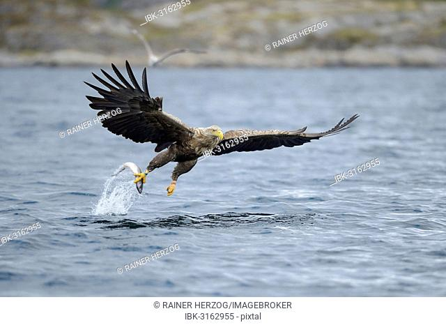 White-tailed Eagle or Sea Eagle (Haliaeetus albicilla) flying away with a captured fish, Lauvsnes, Flatanger, Nord-Trøndelag, Trøndelag, Norway