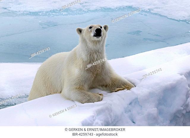 Polar bear (Ursus maritimus) on pack ice, Spitsbergen, Norway
