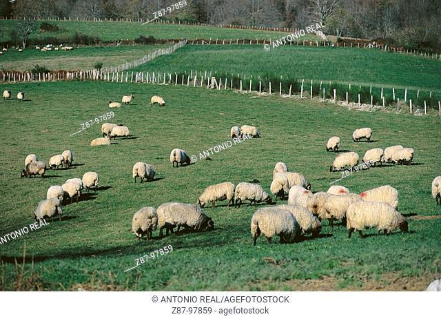 Sheep grazing, Irati Valley, Orbaiceta, Navarre, Spain
