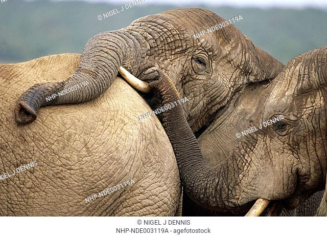 AFRICAN ELEPHANT two Loxodonta africana trunks resting on another Addo Elephant National Park, South Africa