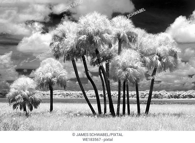 Scene at Myakka River State Park in Sarasota Florida taken as an Infrared red image and converted to black and white