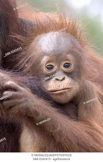 Asia, Indonesia, Borneo, Tanjung Puting National Park, Bornean orangutan (Pongo pygmaeus pygmaeus), Adult female with a baby, detail