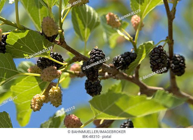 Maulbeerbaum black mulberry morus nigra food of the silk caterpillar