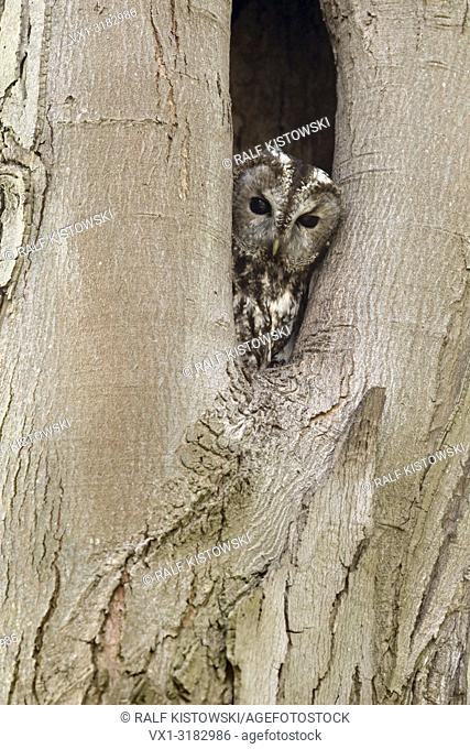 Tawny Owl ( Strix aluco ) watching out of its natural tree hollow, breeding side, wildlife, Germany