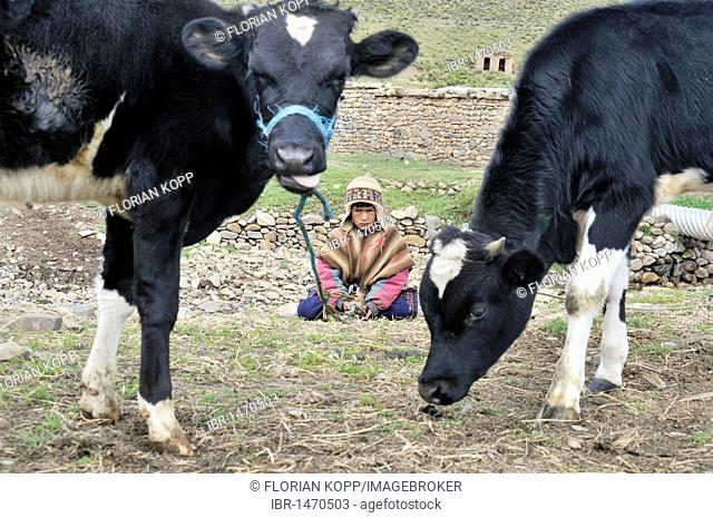 Shepherd boy in the traditional dress of the Quechua with cows, Altiplano Bolivian highland, Oruro Department, Bolivia, South America
