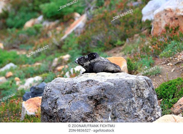 Eisgraues Murmeltier Hoary Marmot Mount Rainier National Park Washington