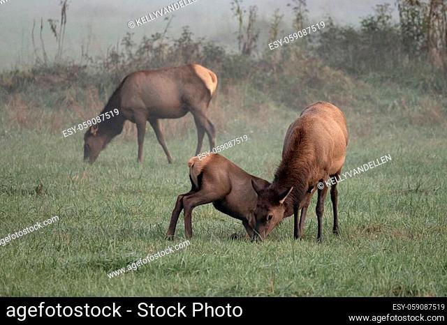 Elk Calf Nurses As Mother Grazes in foggy field in Great Smoky Mountains National Park