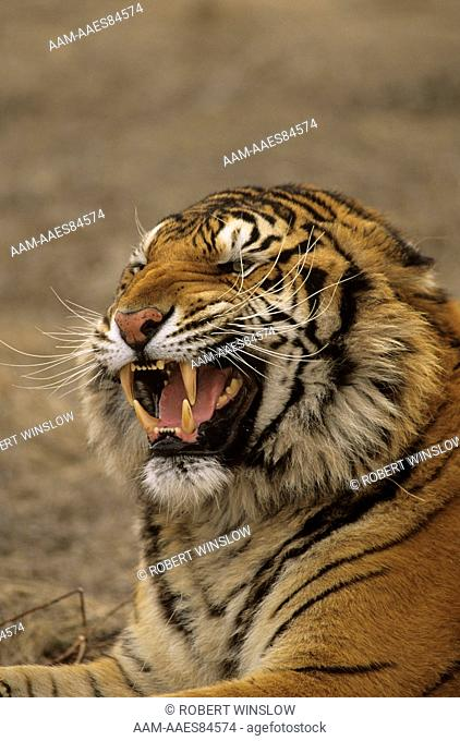 Bengal Tiger aka Indian (Panthera tigris tigris) Snarling/Captive